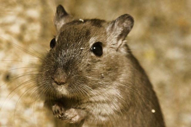 Como cuidar hamsters pasos a seguir para su alimentación