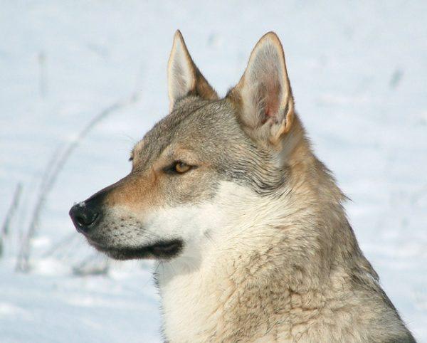 Perro lobo checoslovaco (Cuidados)