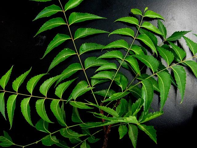 Hojas de neem para la caída del pelo